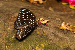 Female of Aarchduke butterfly on fruit Royalty Free Stock Photography