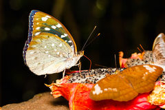 Female of Aarchduke butterfly on fruit Stock Images