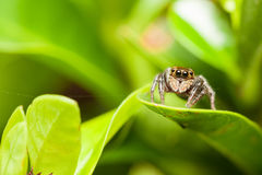Female Adanson's House Jumper (Hasarius adansoni jumping spider) Royalty Free Stock Images