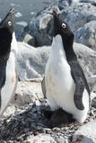 Female Adelie penguin near the nest that welcomes the male appro Stock Photo
