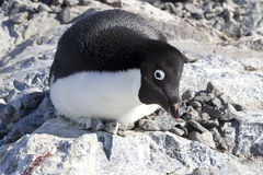Female Adelie penguin sitting on the nest and frightening observ Royalty Free Stock Photo