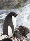 Female Adelie penguin and three chicks in the Royalty Free Stock Images