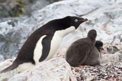 Female Adelie Penguins Near The Nest In Which Chicks Royalty Free Stock Photos