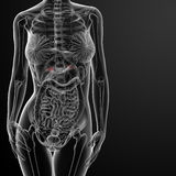 Female adrenal anatomy x-ray Stock Image