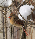 Female Adult Cardinal in Winter. A female adult cardinal takes a rest in a tree on a cold snowy winter's day in western pennsylvania Stock Photos