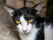 Female adult cat Royalty Free Stock Image