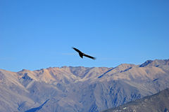 Female adult condor flying over mountains Stock Photos