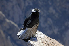 Female adult condor sitting close Stock Photos