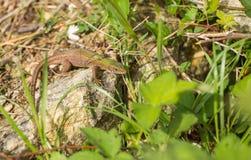 Female adult Eastern Green Lizard Stock Image