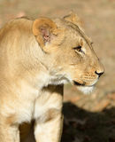 Female adult Lion (lioness) Royalty Free Stock Photography