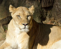 Female adult Lion (lioness) Stock Photo