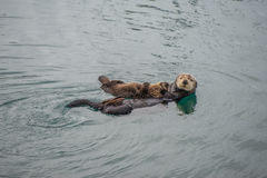 Female adult sea otter with baby Stock Photo