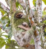 Female Adult Sloth With Young Sloth Stock Photo