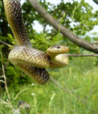 Female Aesculapian rat snake Royalty Free Stock Photography