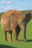 Female African Elephant. Using her trunk to collect and feed on grass Stock Photo