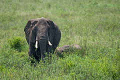 Female African elephant with a cub Stock Photography