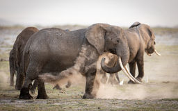 Female African Elephant dust bathing, Amboseli, Kenya Royalty Free Stock Photography