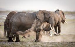 Female African Elephant dust bathing, Amboseli, Kenya Royalty Free Stock Photography