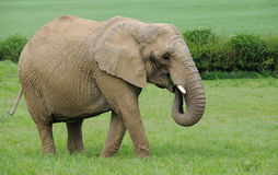 Female African Elephant grazing on lush green grass Stock Image
