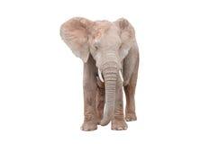 Female African Elephant isolated on white. A young adult female African Elephant, Loxodonta africana, isolated on white Stock Image