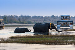 Female African Elephant and its cub crossing the Chobe River in the Chobe National Park with tourist boats on the background. Concept for travel in Botswana stock images