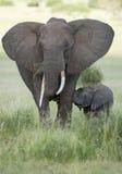 Female African Elephant with long tusk (Loxodonta africana) with. Her young baby. Tarangire National Park, Tanzania Stock Photos