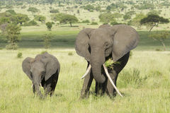 Female African Elephant with long tusk (Loxodonta africana) with Royalty Free Stock Photos