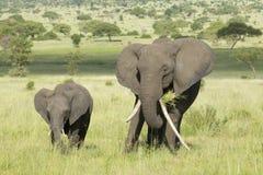 Female African Elephant with long tusk (Loxodonta africana) with. A baby in Tarangire National Park, Tanzania Royalty Free Stock Photos