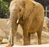 Female African Elephant in Safari park Royalty Free Stock Images