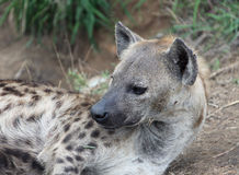 Female African hyenas. Spotted hyena in Kruger Park. Stock Photo
