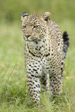 Female African Leopard (Panthera pardus) Serengeti, Tanzania. Walking in the rain Royalty Free Stock Photo