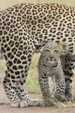 Female African Leopard walking with her small cub, Tanzania. Female African Leopard (Panthera pardus) walking in the Serengeti National Park, with her small cub Royalty Free Stock Photo