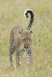 Female African Leopard walking, Tanzania Royalty Free Stock Photo