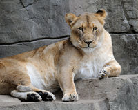 Female African lion. (Panthera leo) relaxing on rocky ledge Royalty Free Stock Images