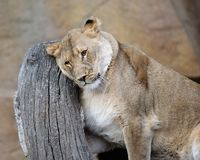 Female African lion Stock Images