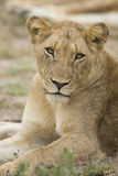 Female African Lion (Panthera leo) South Africa Stock Photo