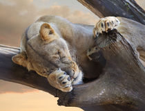Female African Lion Sleeping in a Dead Tree Royalty Free Stock Photography