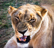 Dangerous Female African lion. Female African lion with attitude, making eye contact, snarling with open mouth showing fangs Royalty Free Stock Images