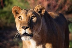Female African Lioness in the morning sun. A female African lioness posing into the natural morning light for a protrait stock photography