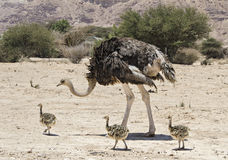 Female of African ostrich  with its young chicks Stock Image