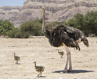 Female of African ostrich  with its young chicks Royalty Free Stock Photos