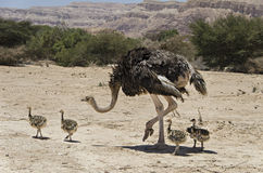 Female of African ostrich  with its young chicks Stock Images