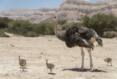 Female of African ostrich  with its young chicks Stock Photography
