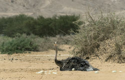 Female of African ostrich Stock Image