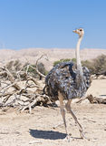 Female of African ostrich (Struthio camelus) Stock Photo