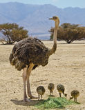 Female of African ostrich (Struthio camelus) with its young chicks Stock Photography