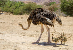Female of African ostrich (Struthio camelus) with its young chicks Stock Photo