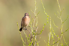 Female African Stonechat in bright colours sitting on grass stem Stock Photos