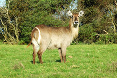 Female African Waterbuck. The Waterbuck is a large reddish brown antelope found widely in Sub-Saharan East Africa. The Defassa Waterbuck is distinguished by the Royalty Free Stock Image