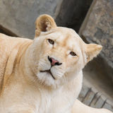 Female African white lion resting Royalty Free Stock Photography